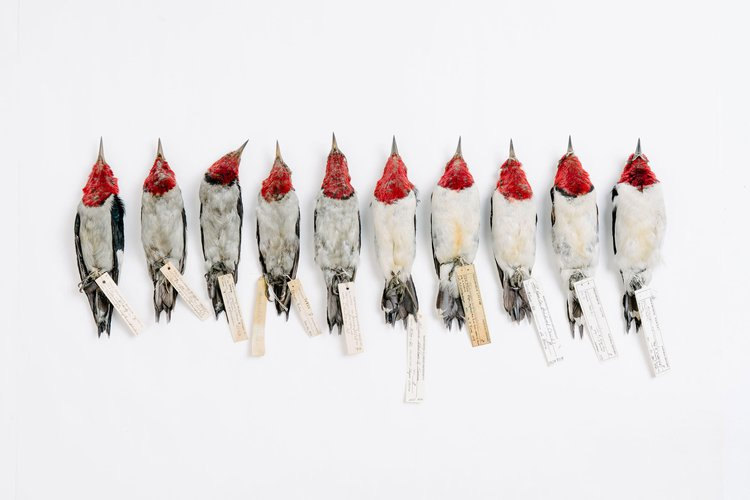 Shane DuBay and Carl Fuldner, Red-headed Woodpeckers from the late 1800s to present day lined up in chronological order to show the difference in black carbon pollution on their feathers. Photo: Tristan Spinski / Audubon