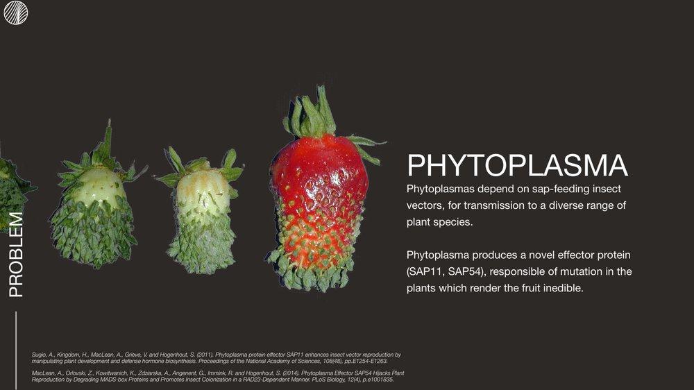 Phytoplasma
