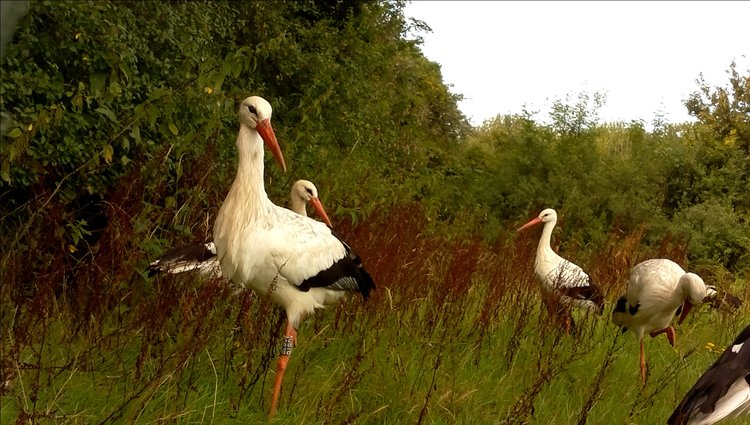 White Stork Project – Lucy Groves, Durrell Wildlife Conservation Trust