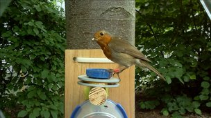 Robin with RFID red leg band, image captured by Naturewatch Camera Trap