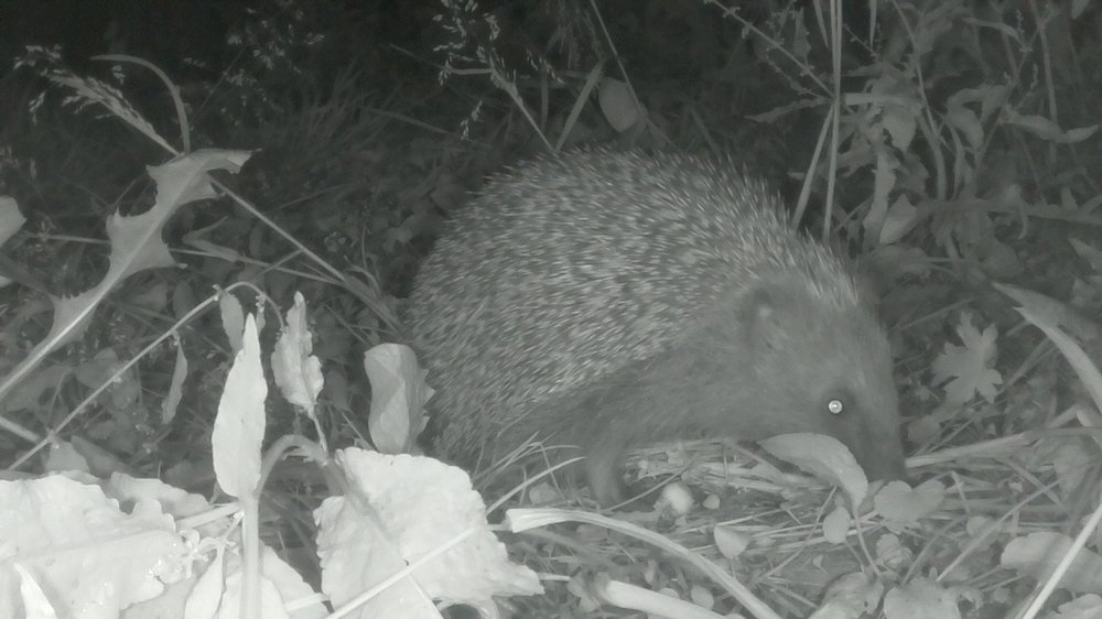 Infrared image of a hedgehog captured by a participant using a Naturewatch Camera Trap
