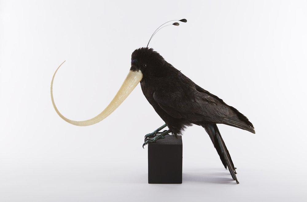 HAWAI'I 'Ō'Ō (MOHO NOBILIS) Genetically Modified De-extinct Bird