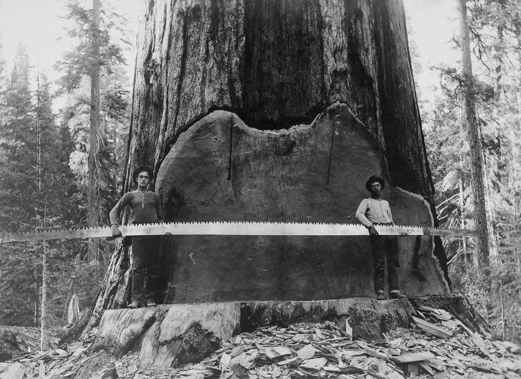 Loggers holding a crosscut saw next to a giant Sequoia Tree, California 1917, A.R.Moore