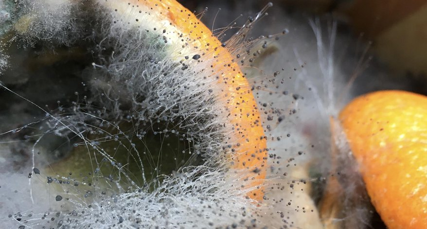A close up photograph of mould growing on some orange peel