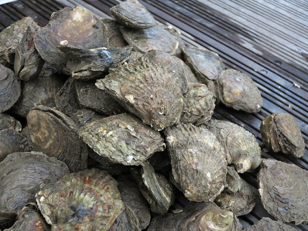 Project Purpose: Native Oysters (Ostrea Edulis) are in serious decline in British waters.