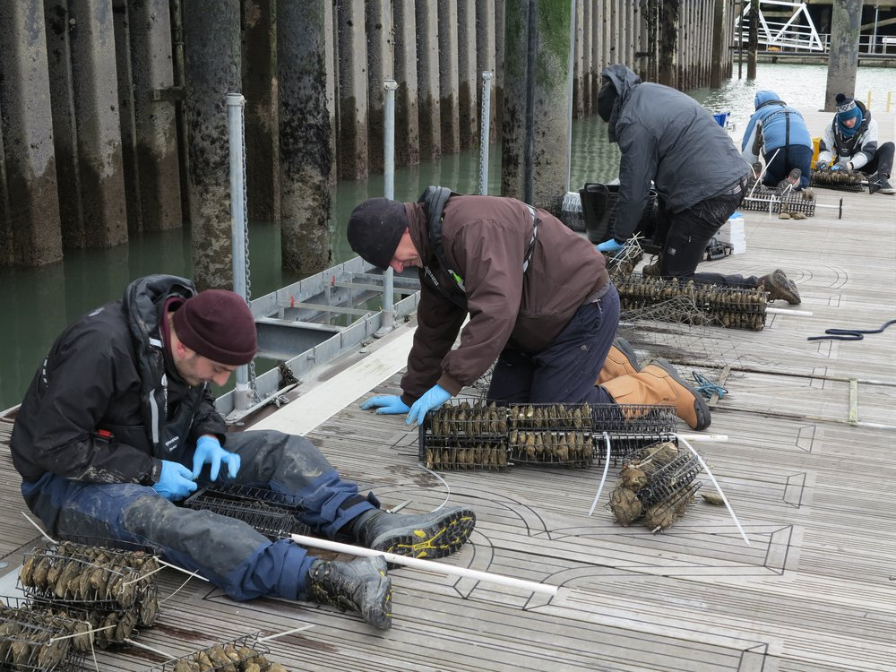 Research in Restoration Projects: The project dedicates to developing a service to help restore native oysters in the Solent Bay area