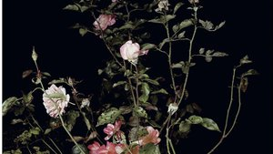 The Rose Gardens (Display:II)(III), 2013