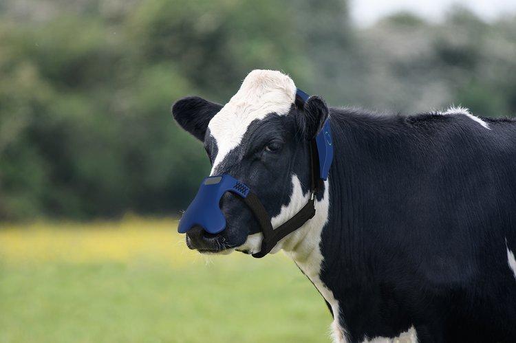 cow wearing Zelp