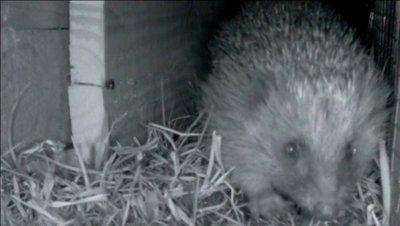 The Wildlife Trust, Hedgehog