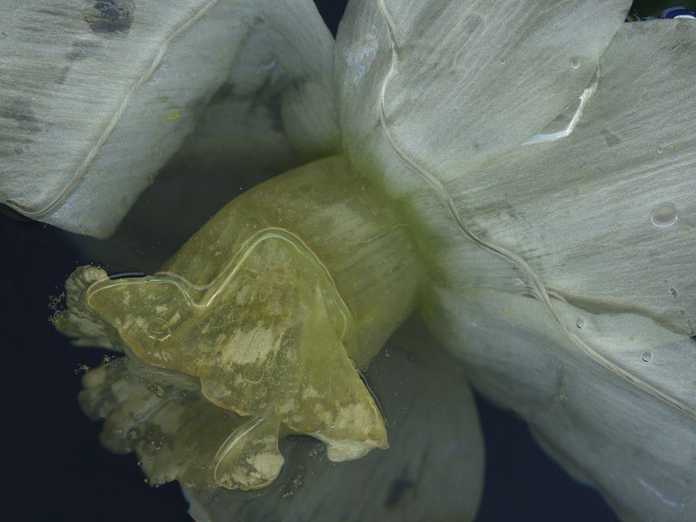 Jenny - The Man With The Midas Touch {A Botanical Index Of Narcissus}