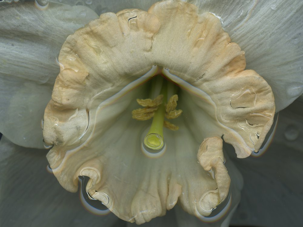 Rainbow - The Man With The Midas Touch {A Botanical Index Of Narcissus}
