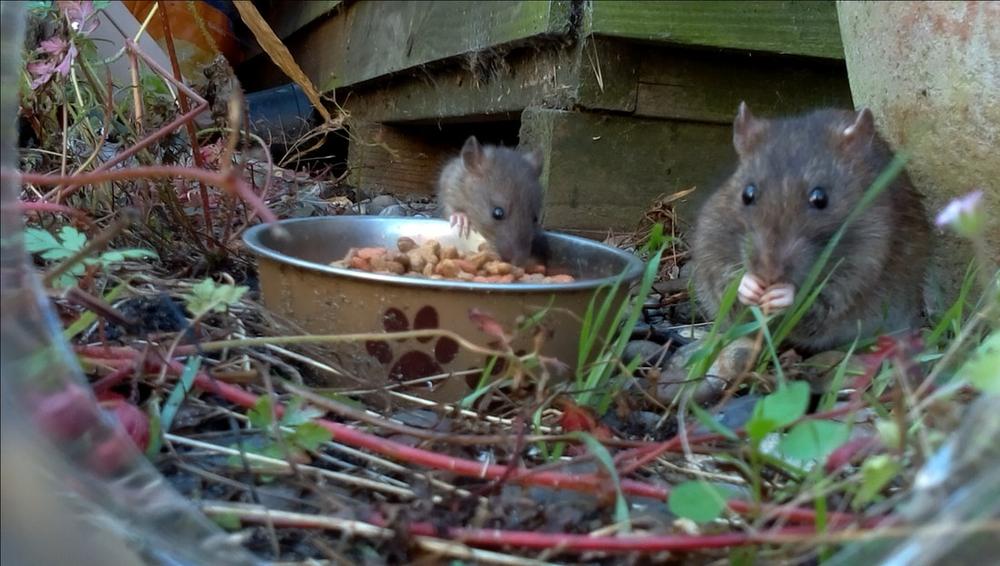 Rat Family