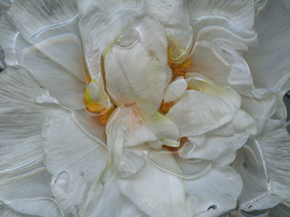 Sir Winston Churchill - The Man With The Midas Touch {A Botanical Index Of Narcissus}
